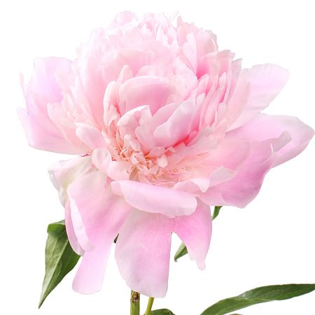 Product Peony is light pink by the piece