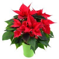 Product Poinsettia