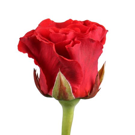 Bouquet Rose El Toro by piece