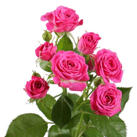Order pink spay rose by the piece at on-line flower shop