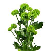 Bouquet Green chrysanthemum by the piece (spray)